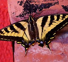 tiger swallowtail on brick by dedmanshootn