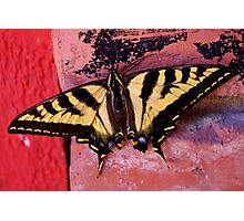 tiger swallowtail on brick Photographic Print