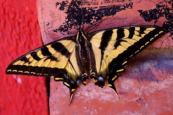 tiger swallowtail on brick by dedmanshootn