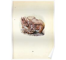 The Tale of Squirrel Nutkin Beatrix Potter 1903 0041 Squirrels and Acorns Poster