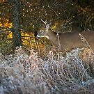Early morning buck  by Daniel  Parent