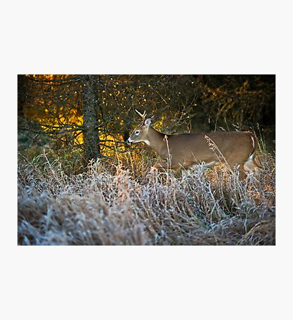 Early morning buck  Photographic Print