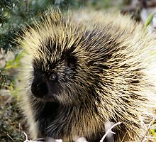 Cool Porcupine by cute-wildlife