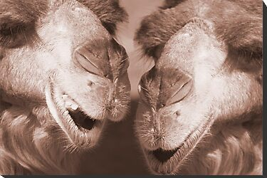 """Watering Hole Gossip"" - Camels gossiping? by John Hartung"