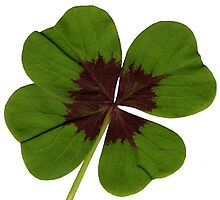 four-leaf clover Photographic Print