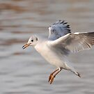 Inflight black Headed Gull by Alexa Pereira
