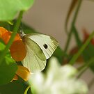 Cabbage White by Brenda Boisvert