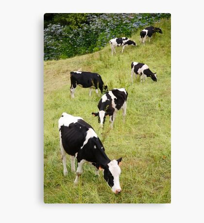Holstein cows Canvas Print