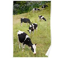 Holstein cows Poster