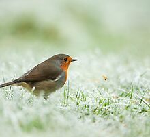 Robin Throwing Mealworm by kernuak