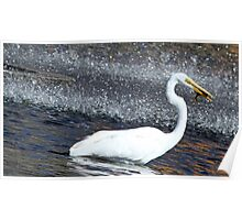 Great white egret with its catch of the day Poster