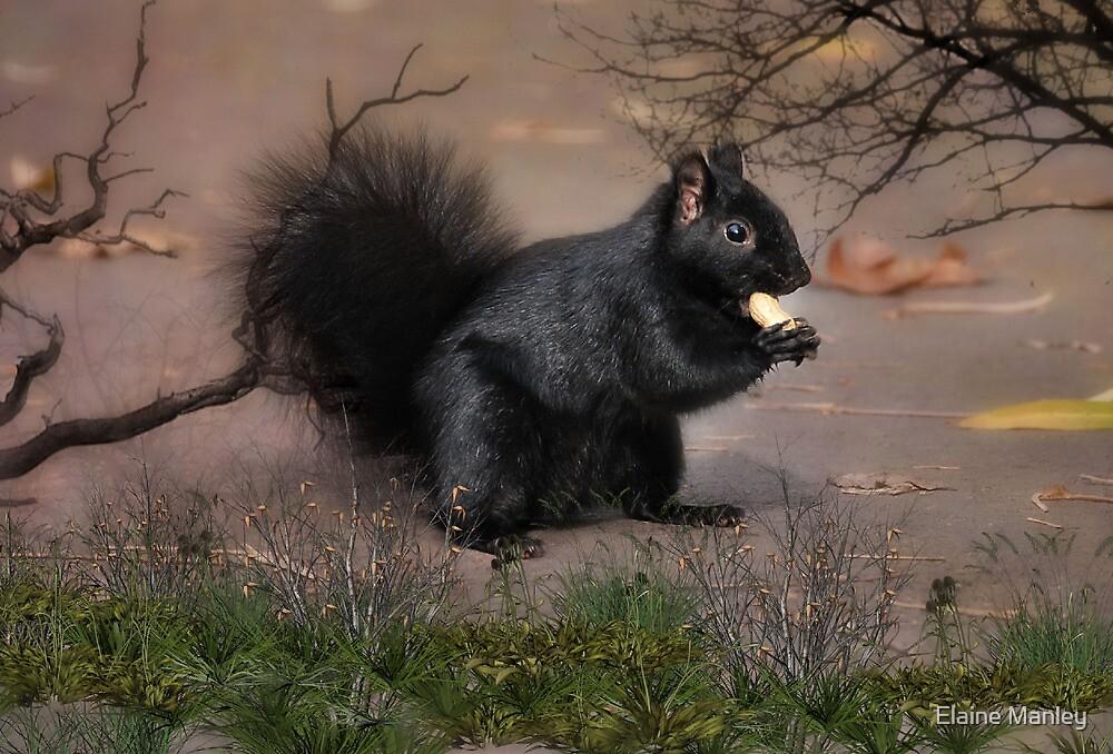 Black Squirrel by Elaine  Manley