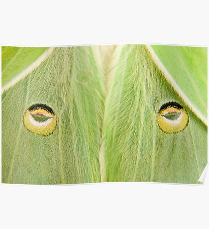 "Luna Moth close-up...""The Stare"" Poster"