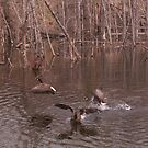 Aggressive Canadian Geese by yakkphat