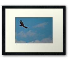 Soaring Turkey Vulture Framed Print