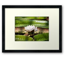 Amazonian Water Lily Framed Print
