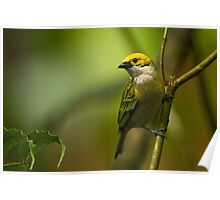 Silver-throated Tanager Poster