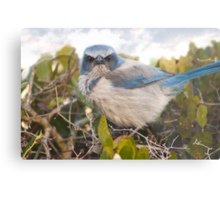 """Scrubbed Off"" - A Florida Scrub Jay seems to be having a bad day. Metal Print"