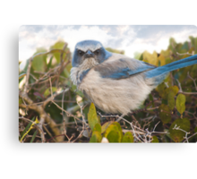 """""""Scrubbed Off"""" - A Florida Scrub Jay seems to be having a bad day. Canvas Print"""