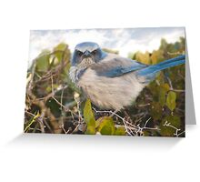 """Scrubbed Off"" - A Florida Scrub Jay seems to be having a bad day. Greeting Card"