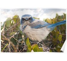 """Scrubbed Off"" - A Florida Scrub Jay seems to be having a bad day. Poster"