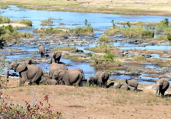 Elephants (Loxodonta) in the River, Kruger, South Africa  by Margaret  Hyde