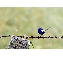 White-winged Fairy Wren Photographic Print