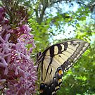 Tiger Swallowtail on Clerodendrom by May Lattanzio
