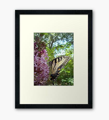 Tiger Swallowtail on Clerodendrom Framed Print
