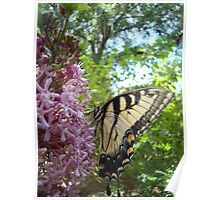Tiger Swallowtail on Clerodendrom Poster