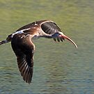 Immature white ibis in flight by jozi1