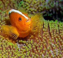 Ralley Clownfish by Norbert Probst