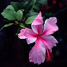 Pink Hibiscus by SuddenJim