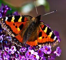 Butterfly by Trevor Kersley