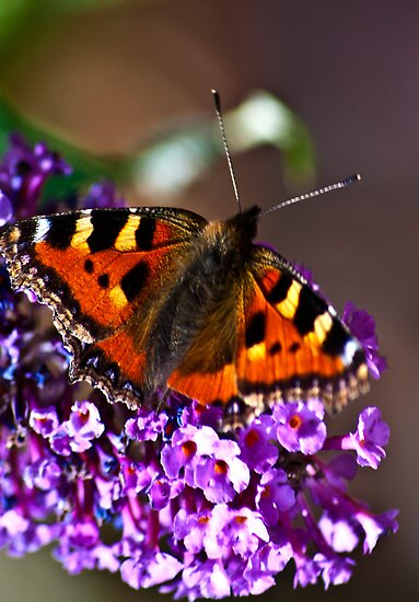 Butterfly by Trevor Kersley