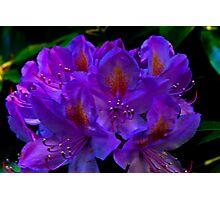 Rhodedendrum Flower Photographic Print