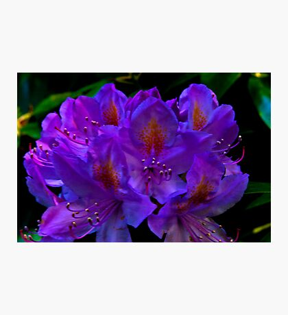 Rhodedendrum Flower Photographic Print