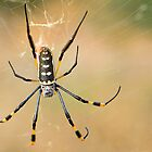 Golden Silk Orb-weaver by Scott Carr