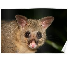 Young Possum  Poster
