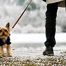 Winter Yorkie by Lucy Hollis