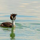 Crested grebe, Lago Trasimeno, Umbria, Italy by Andrew Jones