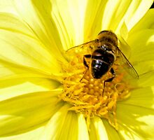 Hoverfly on Yellow Dahlia    Dorset UK by lynn carter