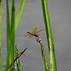 The Eastern Amberwing  by vigor