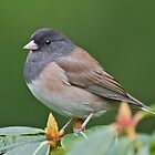 Male Oregon Junco by Bryan Peterson
