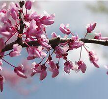 Springtime Cherry Blossoms by Bradley  Rea