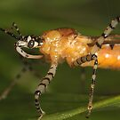 Juvenile Assassin Bug by Mark Weaver