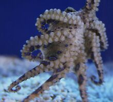 Blue Ring Octopus by Paulette1021