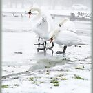 Swan Lake by lallymac