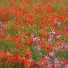 Poppy Field by jean-louis bouzou