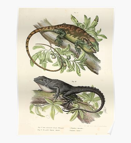 Joseph Fitzinger 1867 0035 Picture Atlas for popular scientific natural history of vertebrates Poster